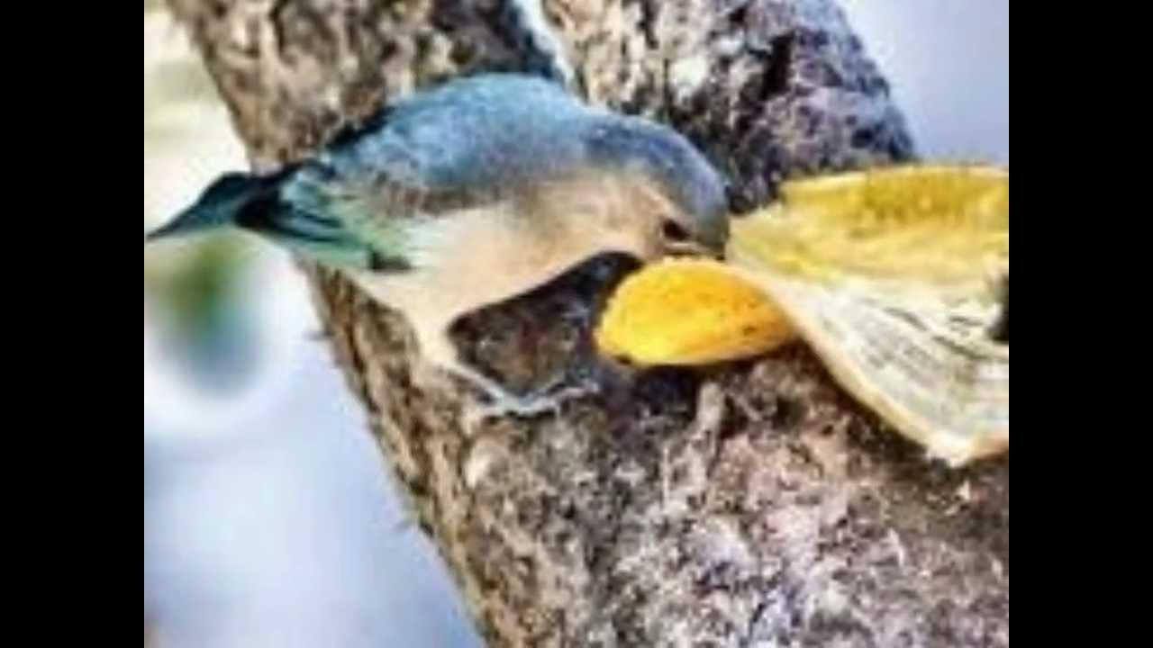 Extremamente Aves do Brasil - O belo canto do sanhaço-azul. - YouTube SF04