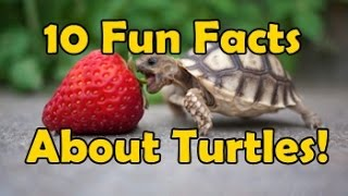 10 Fun Facts About Turtles!
