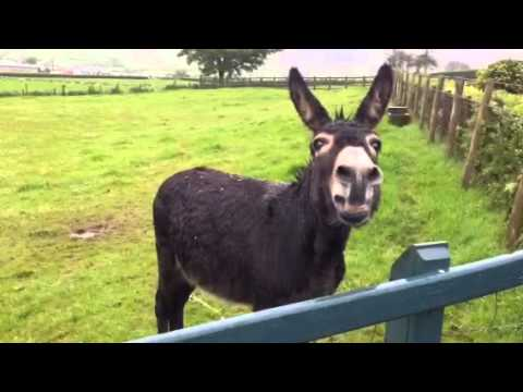 Eddie the donkey braying