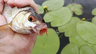 КОГДА ПРОСПАЛ ЗОРЬКУ и зачем стоит брать два комплекта снастей на рыбалку Ловля плотвы в июле