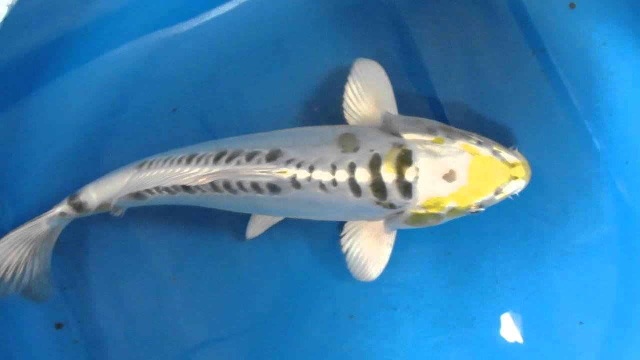 12 doitsu metallic ochiba pond koi fish youtube for Ochiba koi fish