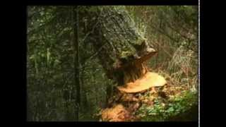 FALLING TREE SOUND EFFECT IN HIGH QUALITY