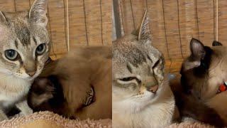 AMAZING AND STUNNING SINGAPURA CATS