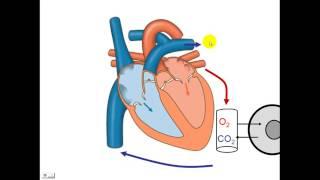 Del circulatorio cerrado sistema importancia