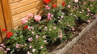 Rosales arbustivos y cubresuelos - Hogarmanía