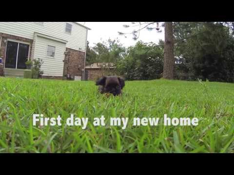 Brussels Griffon puppy - Mae's first day home