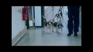 Astrazeneca Please Set The Beagles Free Now !