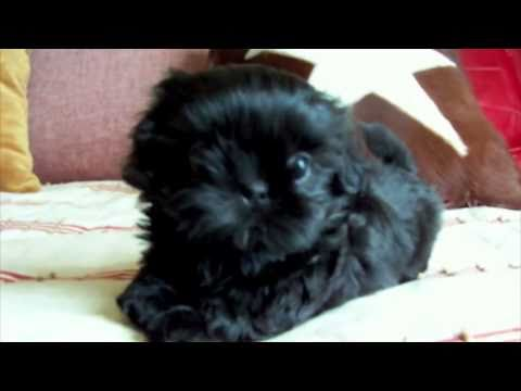 Fairy Tail Shih Tzu Presents Aladdin At 6 Weeks Youtube