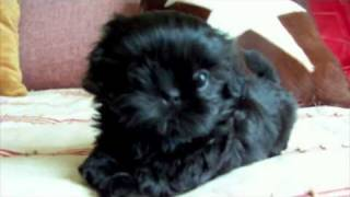Fairy Tail Shih Tzu Presents Aladdin At 6 Weeks