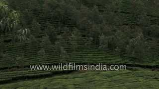 Green tea bushes in Munnar, Kerala