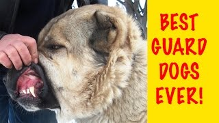 Top 10 Best And Biggest Guard Dogs