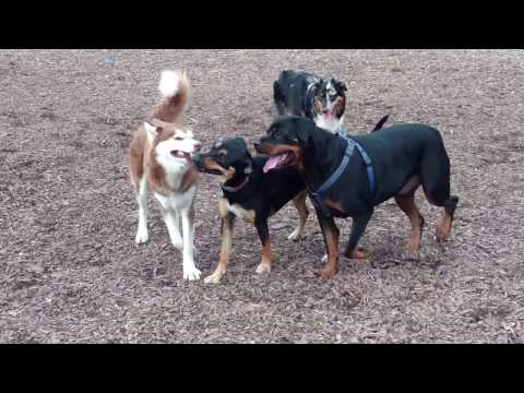Husky, Rottweiler, GSD Mix, Australian Shepherd Dog- Compete for a Tug Rope at Abington Dog Park