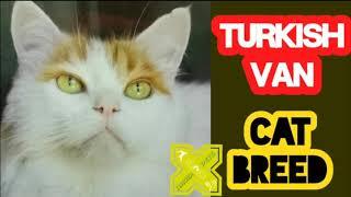 Turkish Van Cat Breed   Cats of Turkey