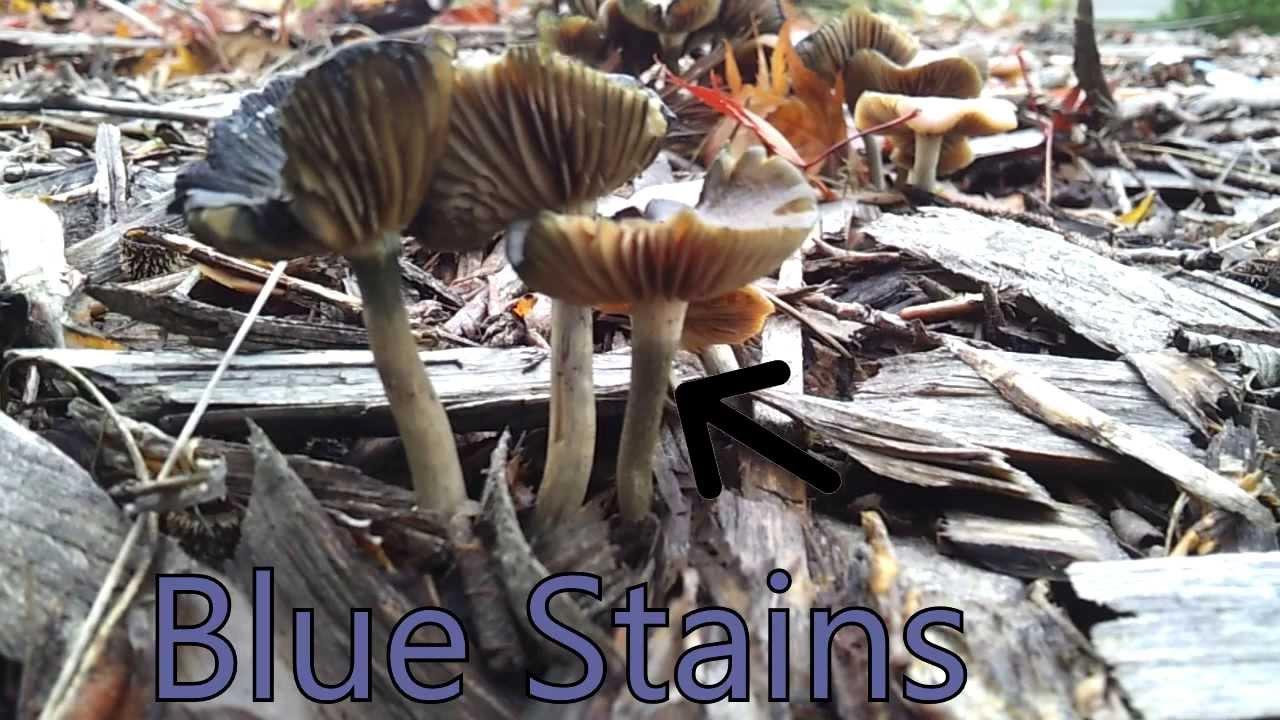 Psilocybe Cyanescens Find Auburn Washington PNW November 11 2013