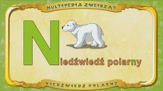 Multipedia Zwierząt. Litera N - Niedźwiedź polarny