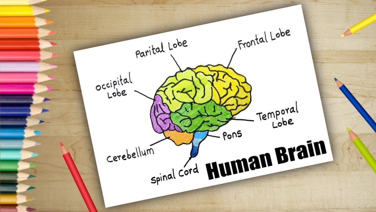 How To Draw Human Brain In Easy Steps Brain Anatomy Drawing Youtube