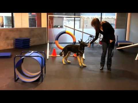 Wiley - German Shepherd Puppy Agility - 6 Months Old
