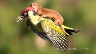 Weasel riding woodpecker explained     01:03
