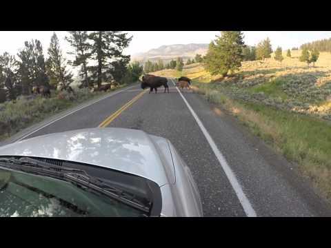 Yellowstone National Park Wildlife