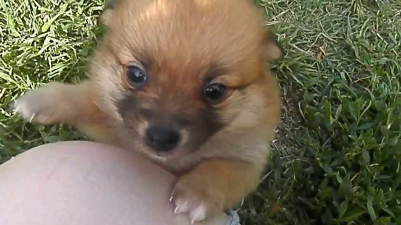 Baby Red Sable Pomeranian Puppy - YouTube