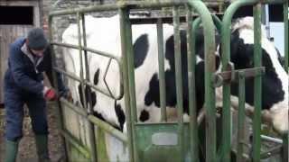 replacing a cows eartag