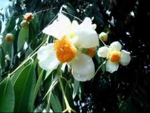 Kunda Saman mal...(කුන්ද සමන් මල් මල් රැන්ඳු සිනාවා කන්ද උඩින් පෑයූ චන්ද්ර සිනාවා )T.M.Jayarathne