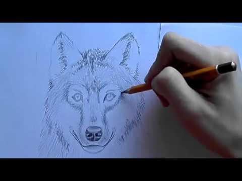 як малювати вовка how to draw a wolf - YouTube b0c2be4f52b80