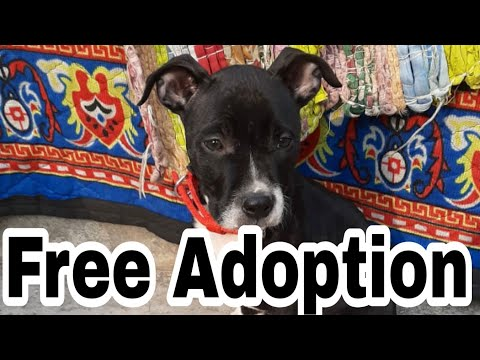Free Adoption Pitbull Puppy