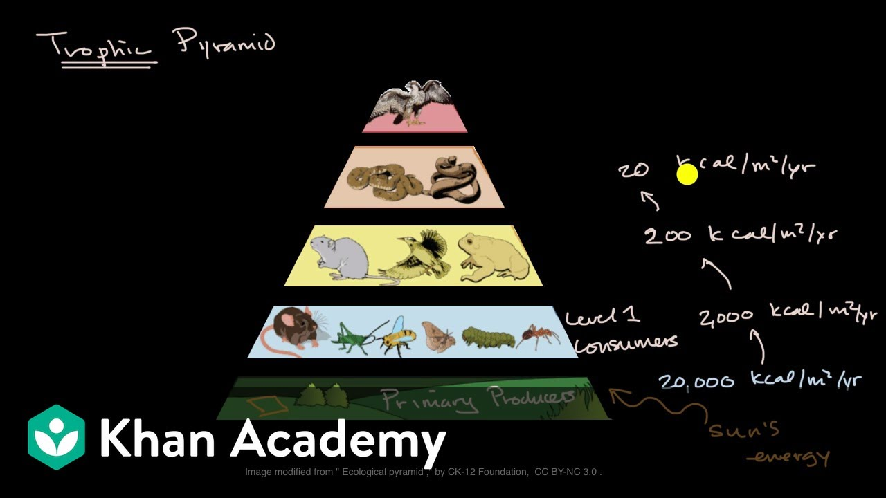 medium resolution of Impact of changes to trophic pyramids (video)   Khan Academy