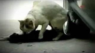 Самый грустный ролик в мире про Кошек!(Эта история произошла в Анталии 24 апреля 2010 года. Кот посреди улицы делает массаж только что сбитой автомоб..., 2011-07-10T23:33:24.000Z)