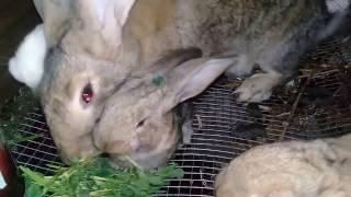 Крольчихи и Крольчата их реакция на зеленую траву.