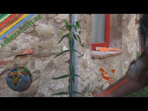Euforbia catapuzia (Euphorbia Lathyris) #scacciatalpe #antiratti #naturale