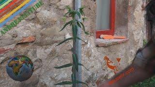 Euforbia catapuzia #scacciatalpe #antiratti #naturale - Erbe spontanee e piante selvatiche