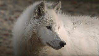 Wolves get Up Close to Cameraman| Snow Wolf Family and Me | BBC Earth