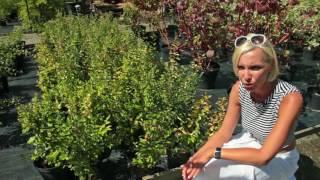 видео Снежноягодник обыкновенный белый: посадка, уход, фото