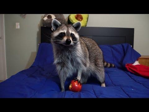 Pet raccoon tries to open fruits