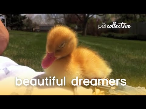 Beautiful Dreamers - Pet Edition | The Pet Collective
