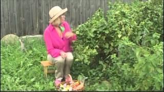 Чёрная смородина советы по выращиванию