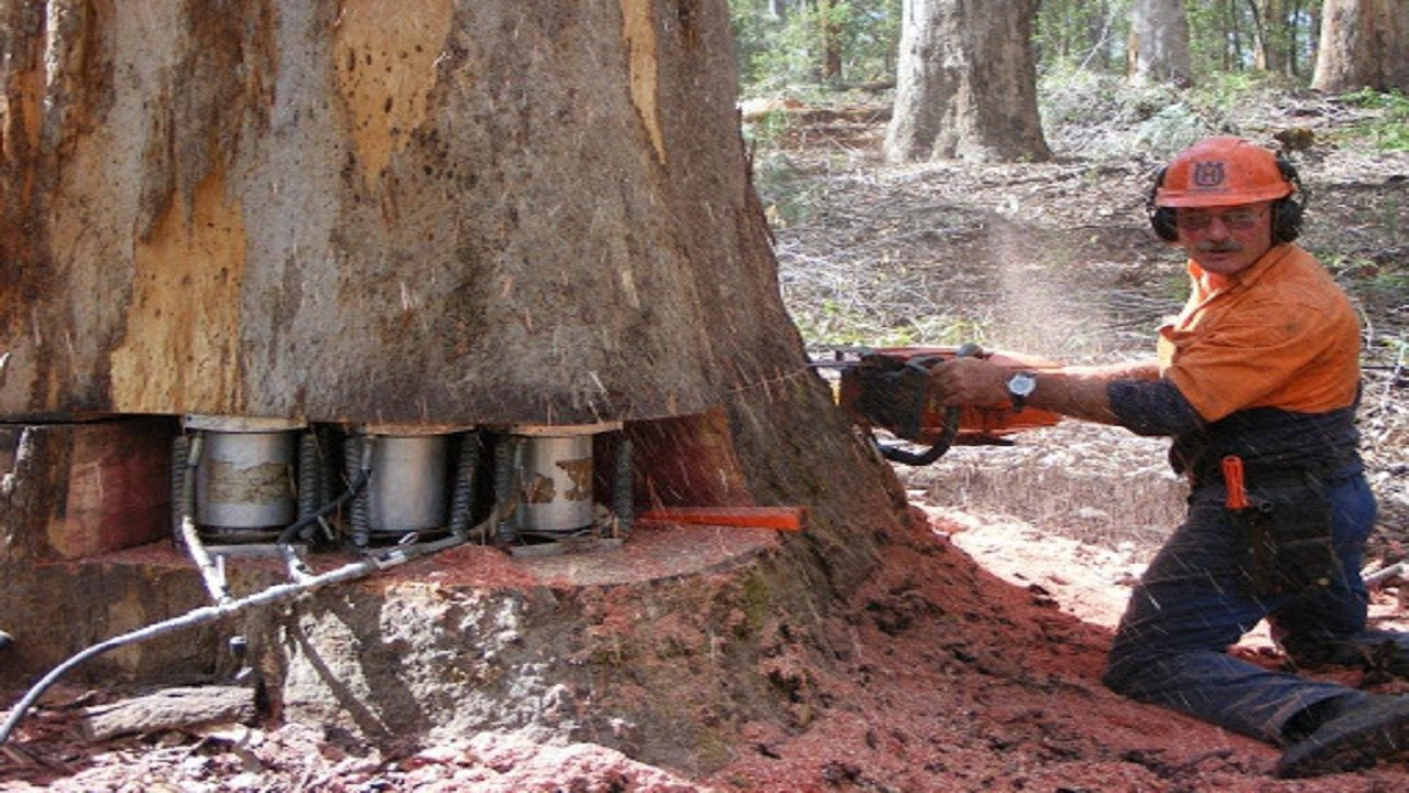 Amazing Modern Techniques Chainsaw Tree Felling and Woodturning Heavy Wood Sawmill Machine Working