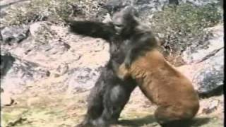 Re: Bear Vs. Gorilla(A short clip of a fight between a bear and a gorilla. For anybody who is interested, I believe this clip is from a film called 'Bigfoot: The Unforgettable Encounter' ..., 2008-03-15T16:52:33.000Z)