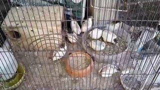 Repeat youtube video พบกับเสือเฒ่า เลี้ยงนกเขาใหญ่ สัตว์นานาชนิด ในนวนิ