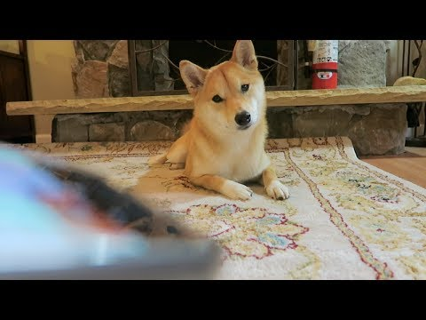 FUNNY Shiba Inu Reaction to Dog Noises!