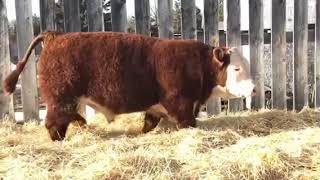 Lot 18- Prime Plus Bull Sale