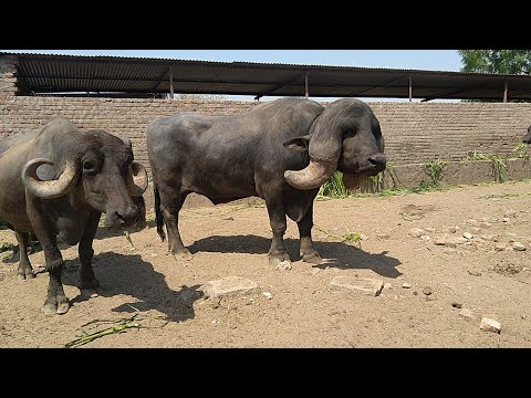 Jaffrabadi buffalo by pradeepsinh raol bhavnagar