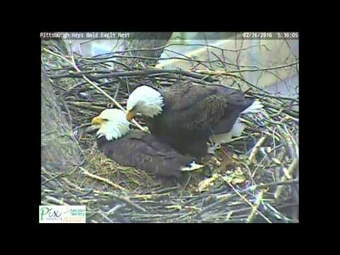 Mom pushed dad off eggs at Hays bald eagle nest
