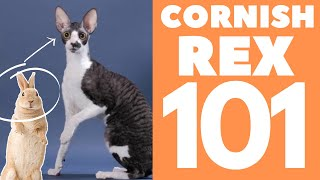 Cornish Rex Cat 101 : Breed & Personality