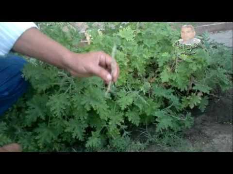 678f3935f نبات العتر وطرق اكثارها مع الشرح - YouTube
