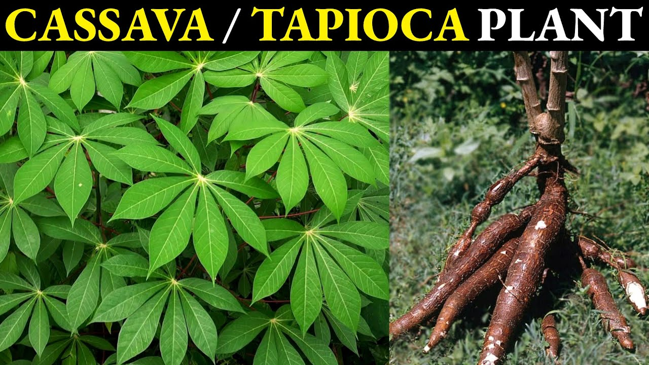 Cassava Plant | Tapioca Plant | Manioc Plant