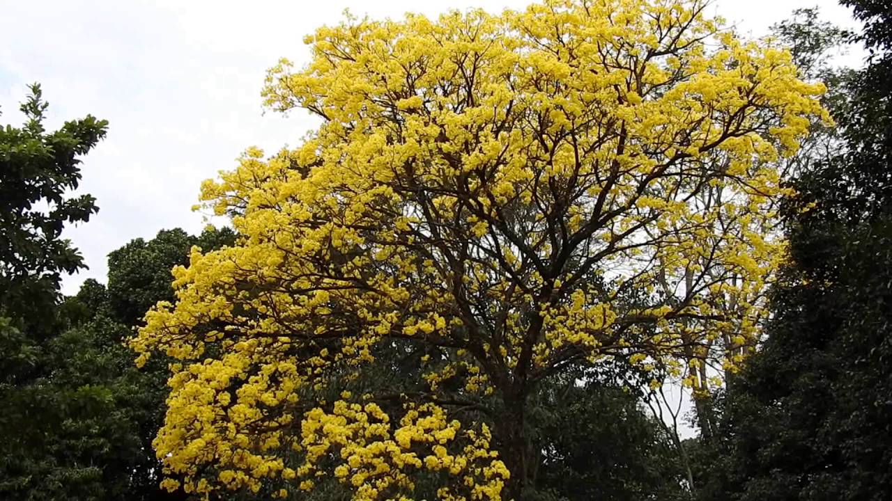 Yellow flowers flowering trees winter blossom ip amarelo yellow flowers flowering trees winter blossom ip amarelotabebuia chrysotricha mightylinksfo
