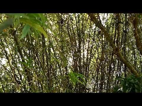 Burung kipasan atas bambu